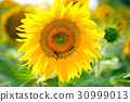 Bright yellow sunflowers and sun. Sunflower field 30999013