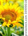 Sunflower flower in the sunlight close-up 30999018