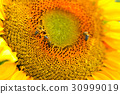 Sunflower flower in the sunlight close-up with bee 30999019
