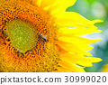 Sunflower flower in the sunlight close-up with bee 30999020