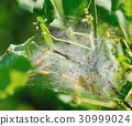Caterpillars cocoon on the bush 30999024