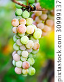 Bunch of pink grapes on vine 30999137