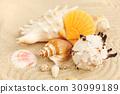 Sea shells on sandy beach 30999189