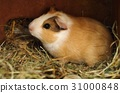 Young guinea pig 31000848