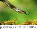 Snake Natrix natrix 31000857