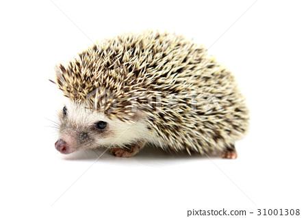 Hedgehog isolate on white background 31001308