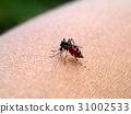 mosquito sucking blood. 31002533