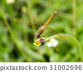 Close up of dragonfly on flower grass. 31002696