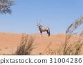 Oryx looking at camera in the Namib desert 31004286