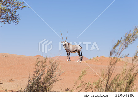 Oryx looking at camera in the Namib desert 31004286