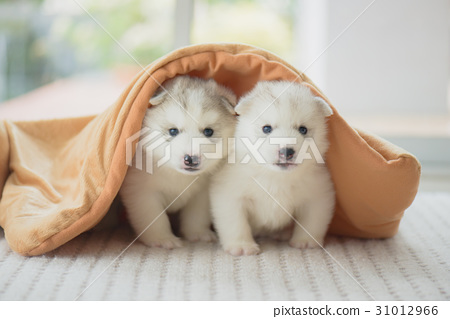 siberian husky puppy sitting blanket 31012966