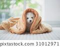 siberian husky puppy sitting blanket 31012971