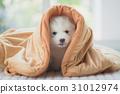 siberian husky puppy sitting blanket 31012974