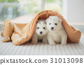 Cute two siberian husky puppies sitting blanket 31013098