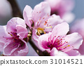 honeybee rested on a pink peach flower 31014521