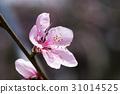 Peach blossom 31014525