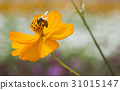 Spring single daisy flower and bee 31015147