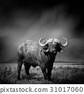Black and white image of a buffalo 31017060