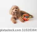toy poodle dog 31020364