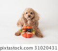 toy poodle dog 31020431