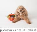 toy poodle dog 31020434