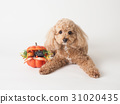 toy poodle dog 31020435