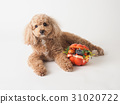 toy poodle dog 31020722