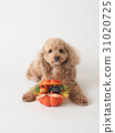 toy poodle dog 31020725