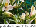 蜥蜴 六出花 花朵 31026459