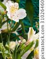 六出花 蜥蜴 花朵 31026460