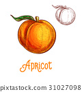 apricot, fruit, sketch 31027098
