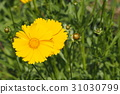 선명한 오오킨케이기쿠 꽃 31030799