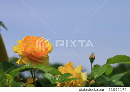 줄리아 차일드 장미 꽃과 푸른 하늘 31033173