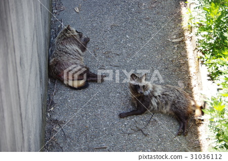 Tanuki resting in the shade _ Japanese animal 31036112