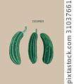 cucumber , sketch vector. 31037661