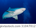 bull shark ready to attack in the blue ocean 31047012