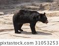 asian, black, bear 31053253