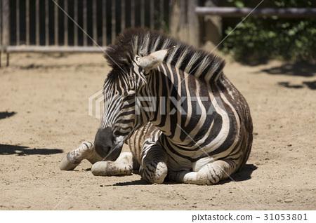 Zebra resting sitting 31053801