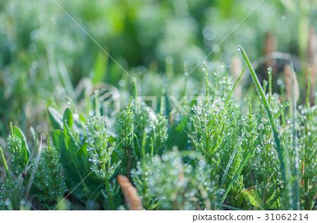 morning dew 31062214