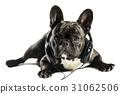 bulldog, dog, animal 31062506