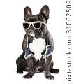 bulldog, dog, animal 31062509
