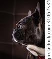 bulldog, dog, animal 31062534