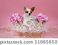 cute chihuahua dog in basket 31065650