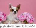 cute chihuahua dog in basket 31065651