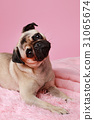 Cute pug dog lying on pink background 31065674