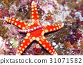 海膽海星 31071582