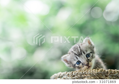 Little newborn blue eyes kitten with copy space. 31071869