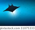 Big manta ray in ocean water. Underwater life. 31075333