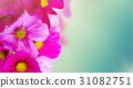 Cosmos pink flowers 31082751