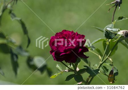 Single Dark Crimson Red Rose In Full Bloom
